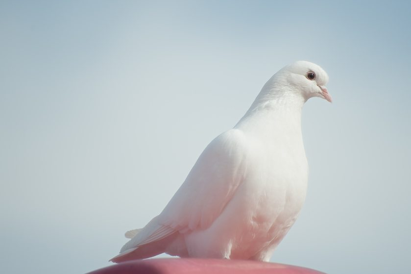 animal-bird-pigeon-75973