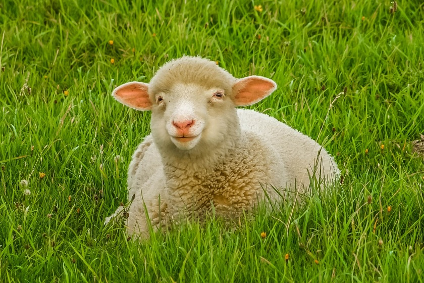 sheep-872184_1920