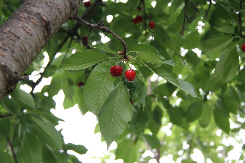 cherry-5243864_1920
